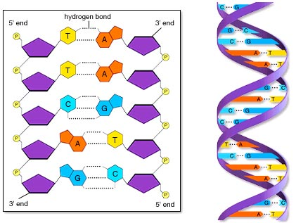 Nucleotides and portion of a Double Helix